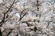 Minoruta_sueet_041