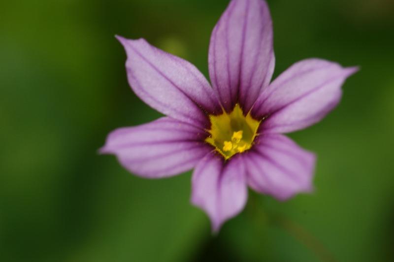 科名 - アヤメ科 】: 野の花図鑑